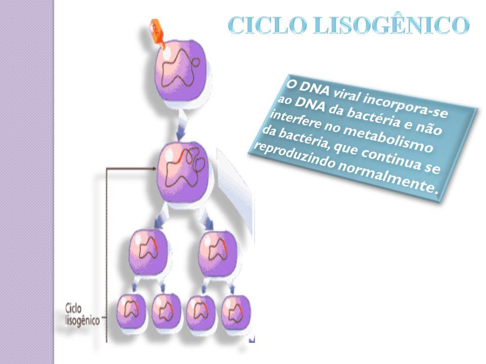 CICLO LISOGÊNICO O DNA viral incorpora-se ao DNA da bactéria e não interfere no metabolismo da bactéria, que continua se reproduzindo normalmente.