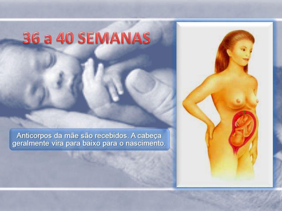36 a 40 SEMANAS Anticorpos da mãe são recebidos.