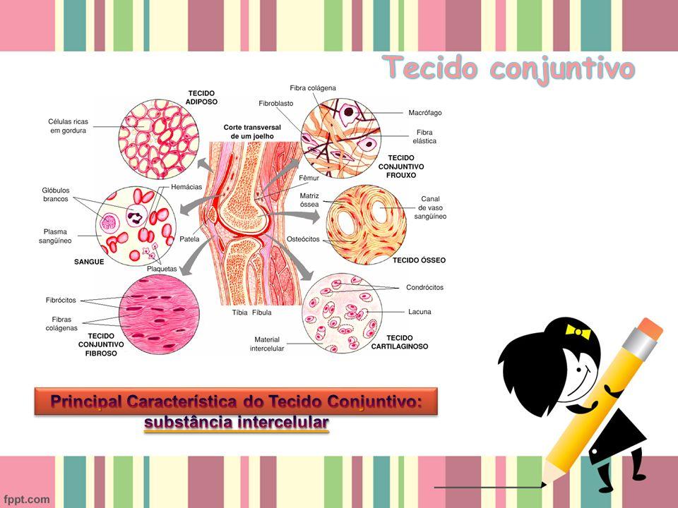 Principal Característica do Tecido Conjuntivo: substância intercelular
