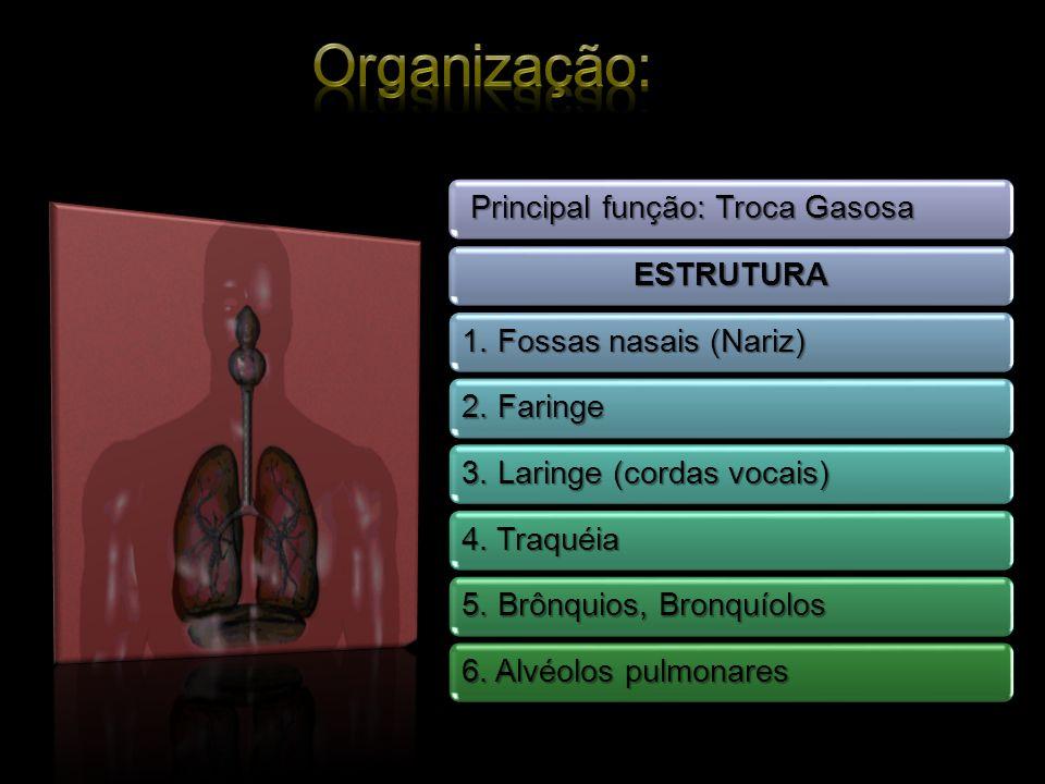 Organização: Principal função: Troca Gasosa ESTRUTURA