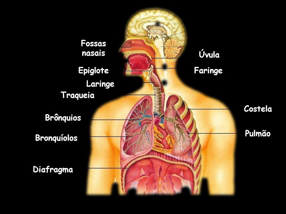 Fossas nasais Úvula. Epiglote. Faringe. Laringe. Traqueia. Costela. Brônquios. Pulmão. Bronquíolos.