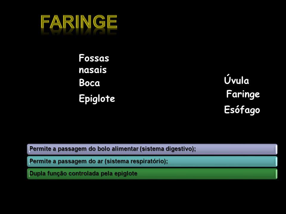 Faringe Fossas nasais Úvula Boca Faringe Epiglote Esófago