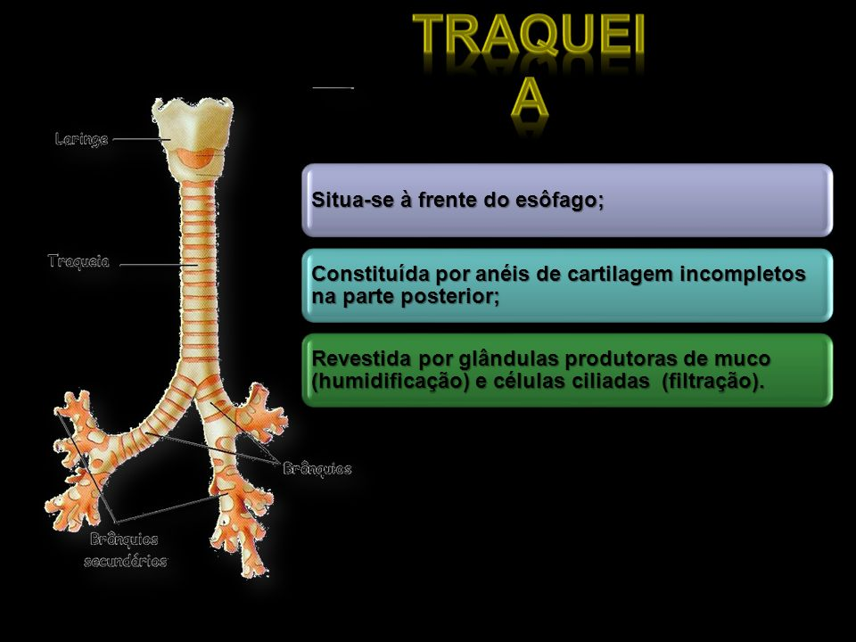 Traqueia Situa-se à frente do esôfago; Constituída por anéis de cartilagem incompletos na parte posterior;