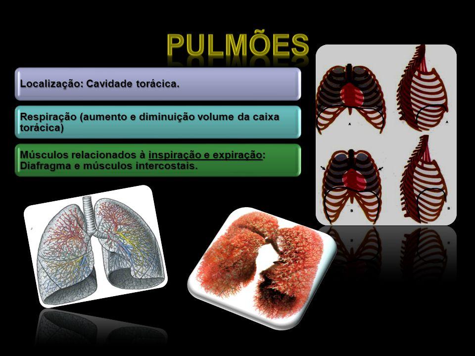 PulmõesLocalização: Cavidade torácica. Respiração (aumento e diminuição volume da caixa torácica)