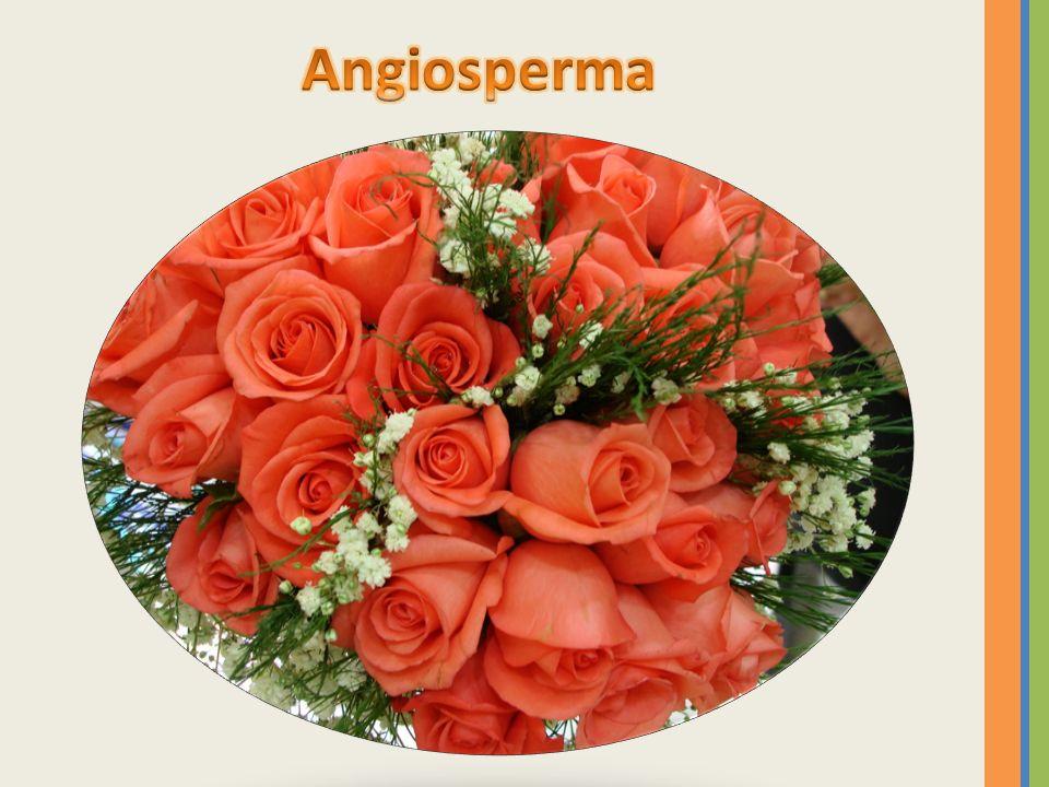 Angiosperma