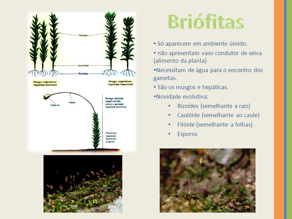 Briófitas Só aparecem em ambiente úmido.