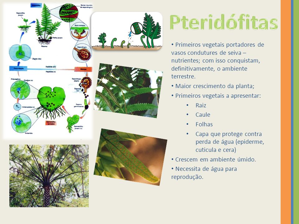 Pteridófitas Primeiros vegetais portadores de vasos condutures de seiva – nutrientes; com isso conquistam, definitivamente, o ambiente terrestre.