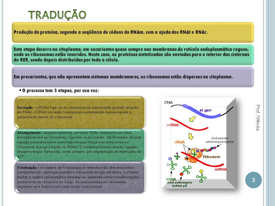 Tradução Produção da proteína, segundo a seqüência de códons do RNAm, com a ajuda dos RNAt e RNAr.