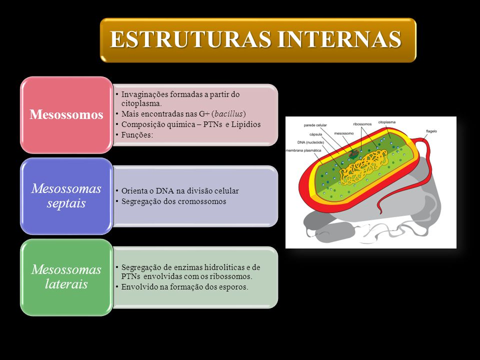 ESTRUTURAS INTERNASMesossomos. Invaginações formadas a partir do citoplasma. Mais encontradas nas G+ (bacillus)
