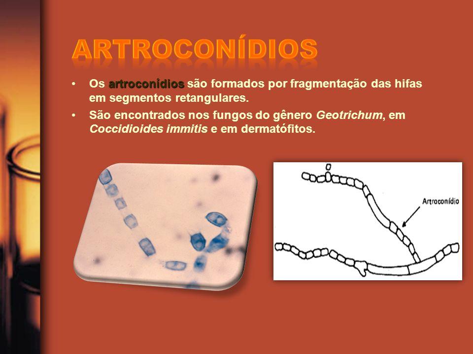 artroconídios Os artroconídios são formados por fragmentação das hifas em segmentos retangulares.