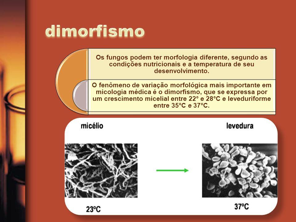 dimorfismo Os fungos podem ter morfologia diferente, segundo as condições nutricionais e a temperatura de seu desenvolvimento.
