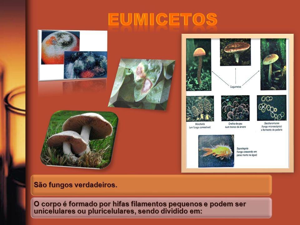 Eumicetos São fungos verdadeiros.
