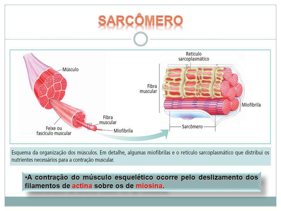 SarcômeroA contração do músculo esquelético ocorre pelo deslizamento dos filamentos de actina sobre os de miosina.