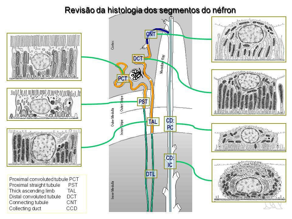 Revisão da histologia dos segmentos do néfron