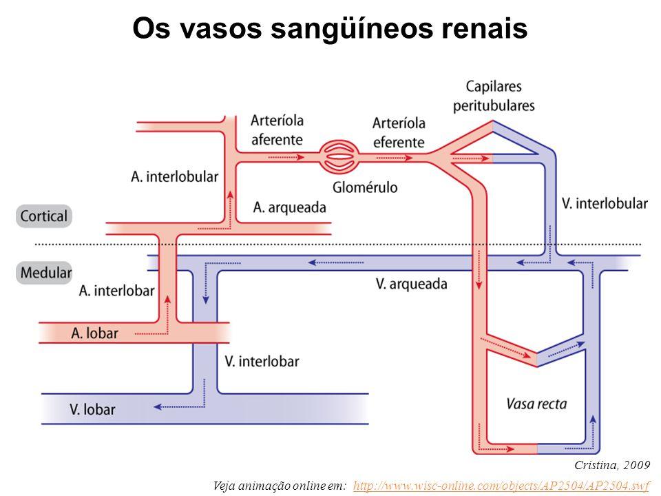 Os vasos sangüíneos renais