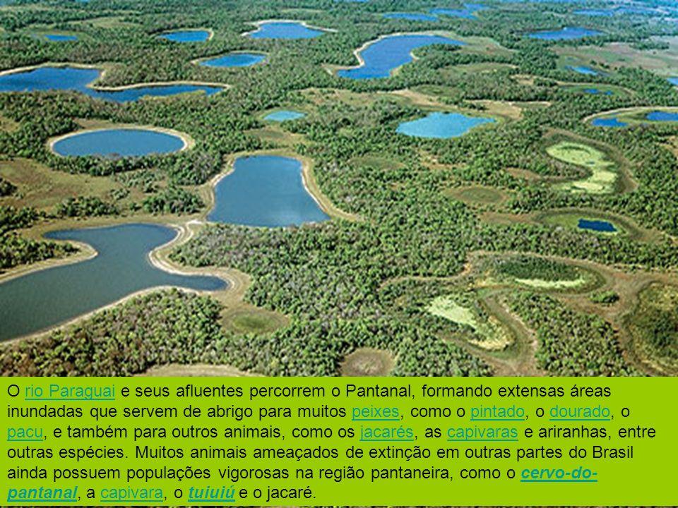 O rio Paraguai e seus afluentes percorrem o Pantanal, formando extensas áreas inundadas que servem de abrigo para muitos peixes, como o pintado, o dourado, o pacu, e também para outros animais, como os jacarés, as capivaras e ariranhas, entre outras espécies.