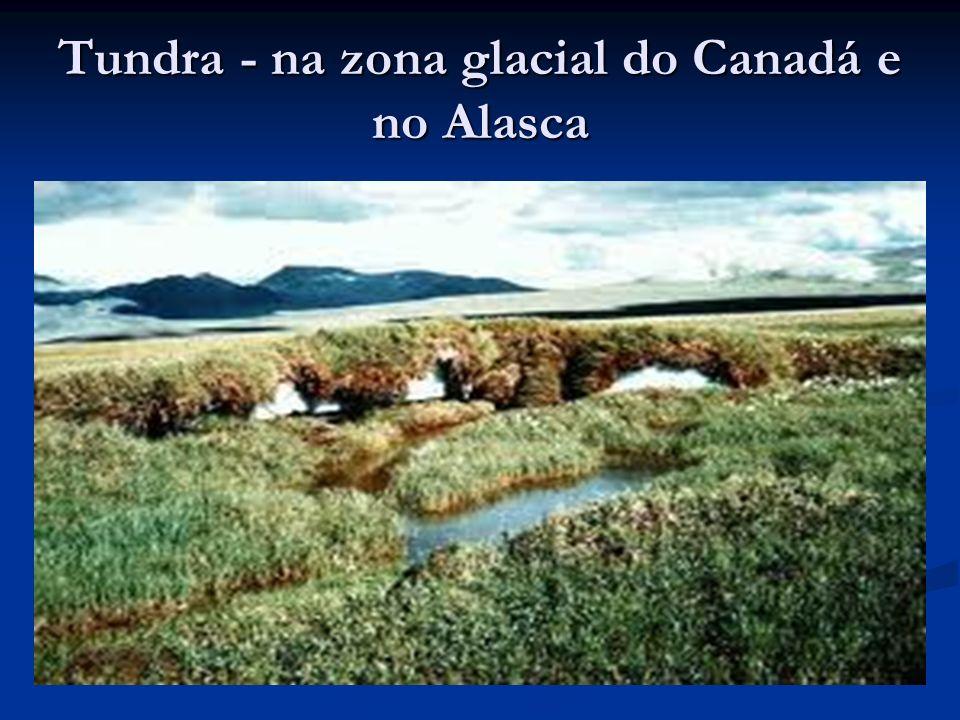 Tundra - na zona glacial do Canadá e no Alasca