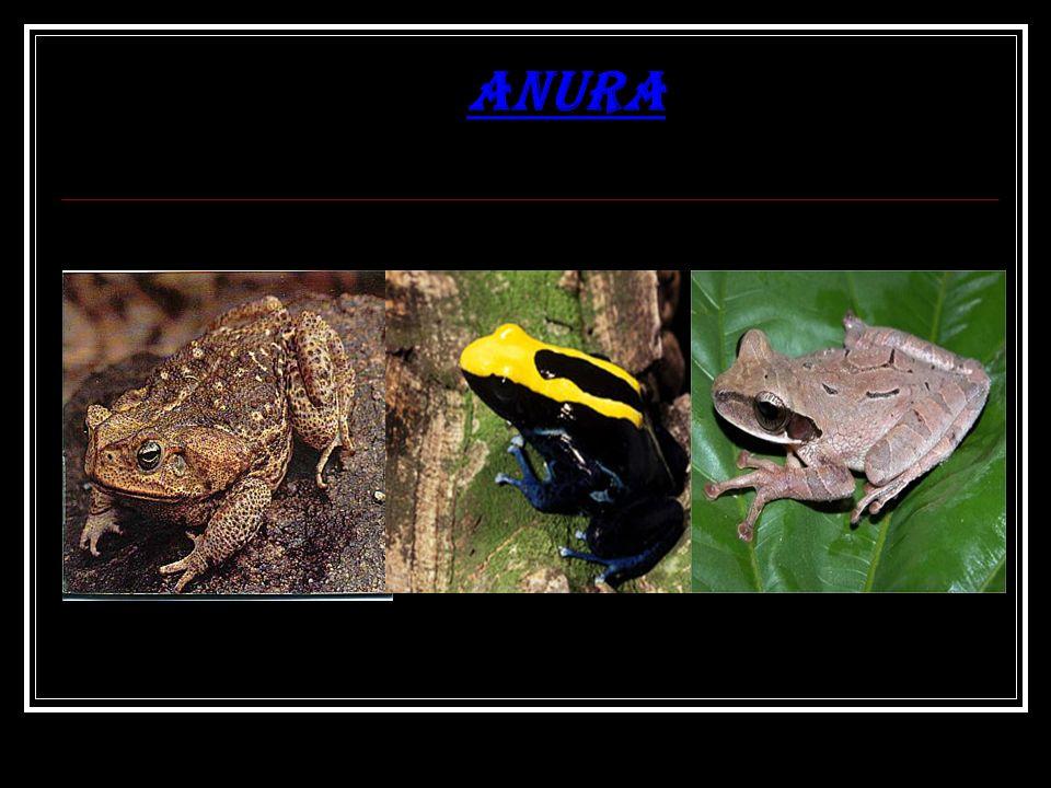 Anura