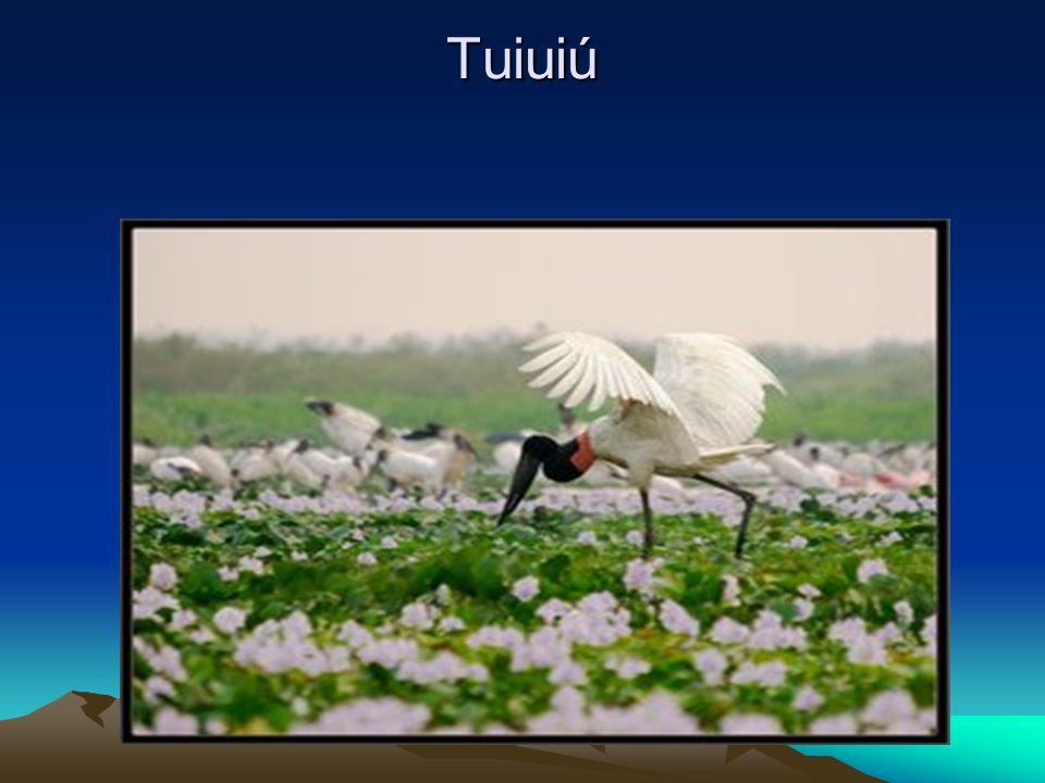 Tuiuiú