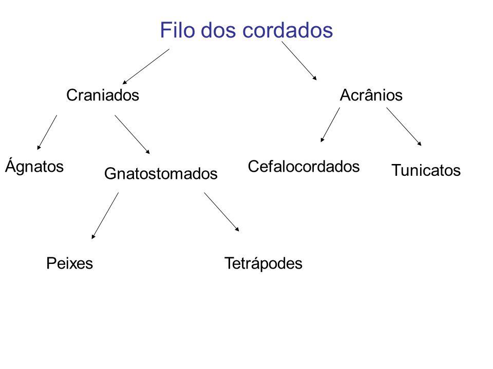 Filo dos cordados Craniados Acrânios Ágnatos Cefalocordados Tunicatos
