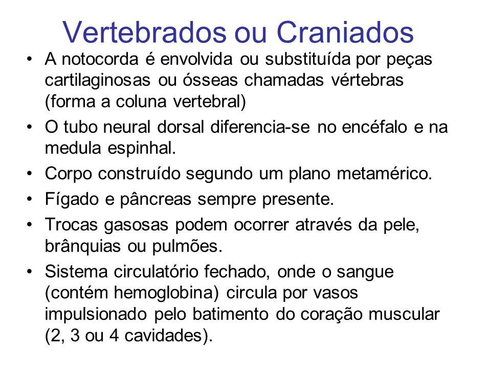 Vertebrados ou Craniados