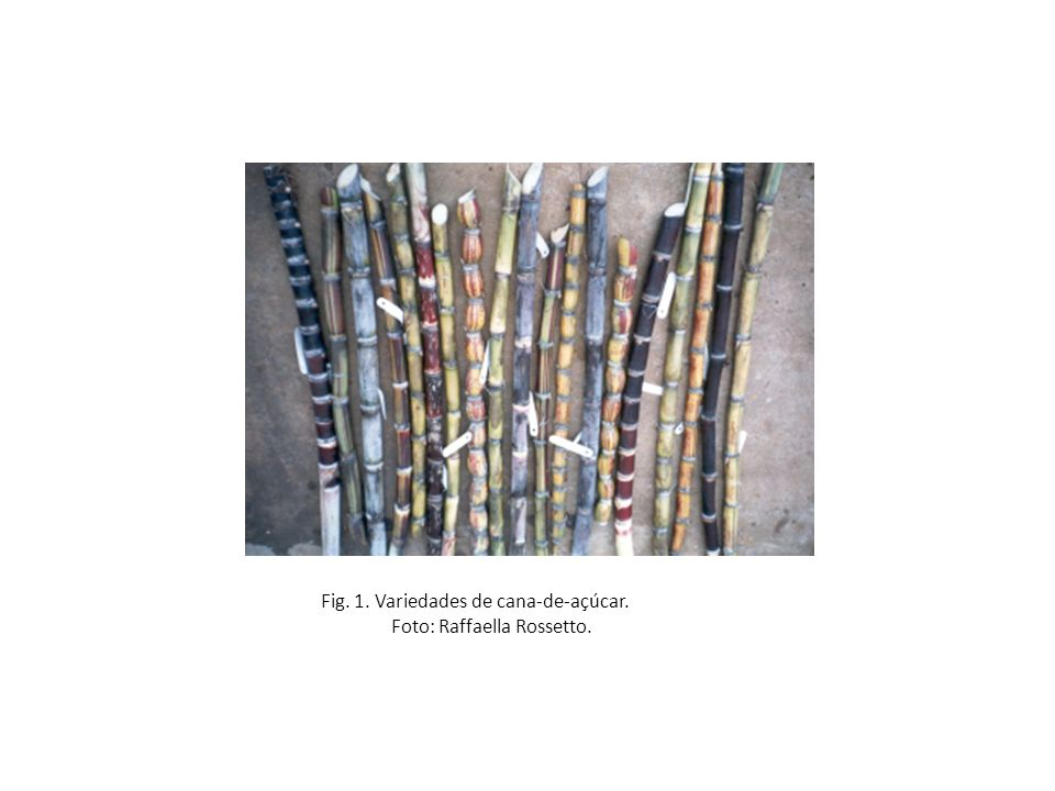 Fig. 1. Variedades de cana-de-açúcar. Foto: Raffaella Rossetto.