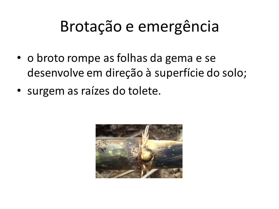 Brotação e emergênciao broto rompe as folhas da gema e se desenvolve em direção à superfície do solo;