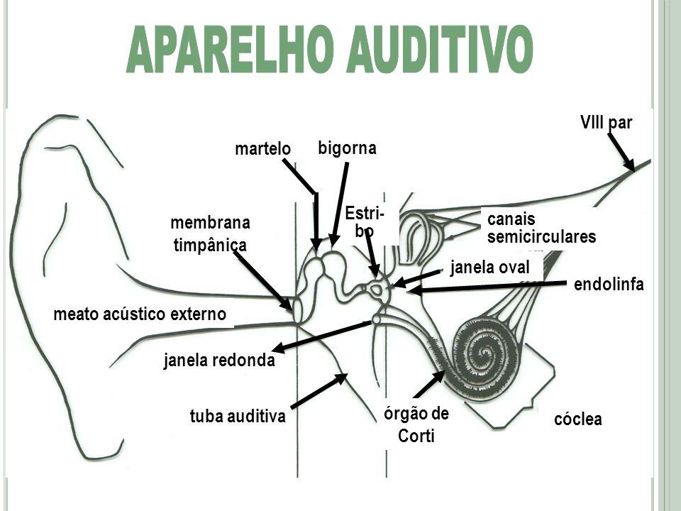 APARELHO AUDITIVO VIII par martelo bigorna Estri-bo membrana timpânica
