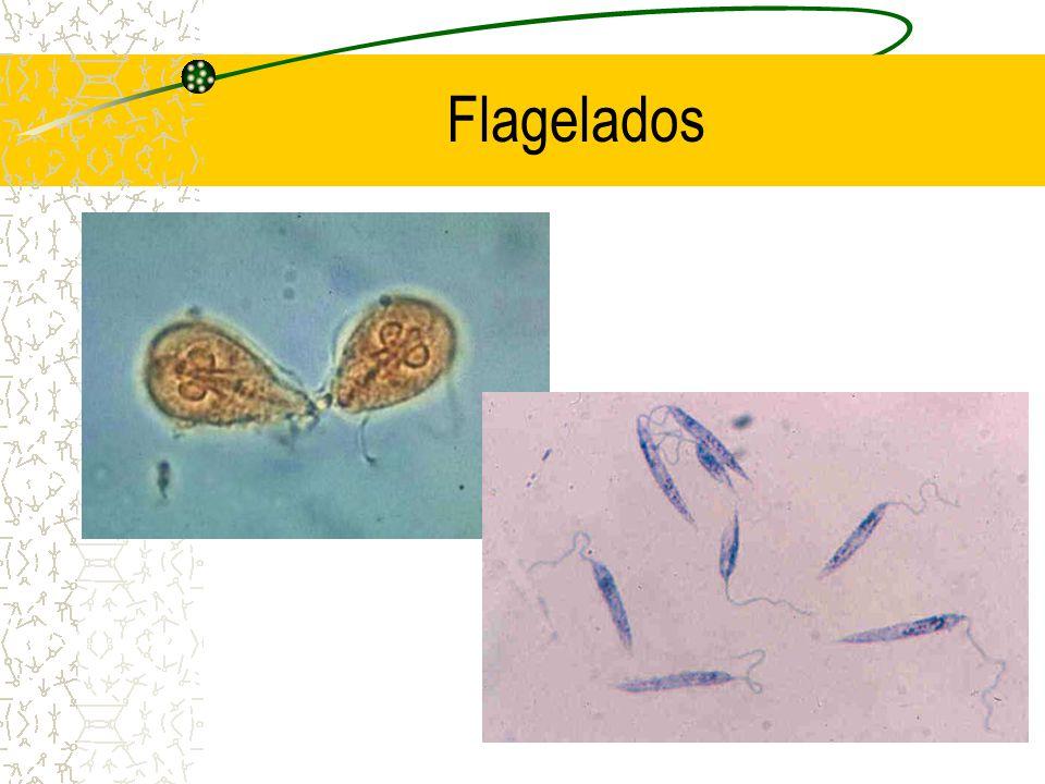 Flagelados