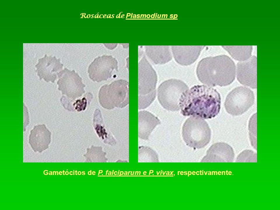 Rosáceas de Plasmodium sp
