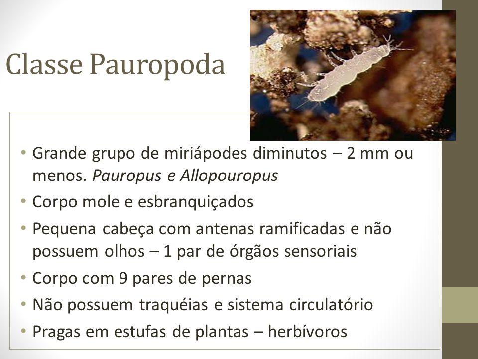 Classe Pauropoda Grande grupo de miriápodes diminutos – 2 mm ou menos. Pauropus e Allopouropus. Corpo mole e esbranquiçados.