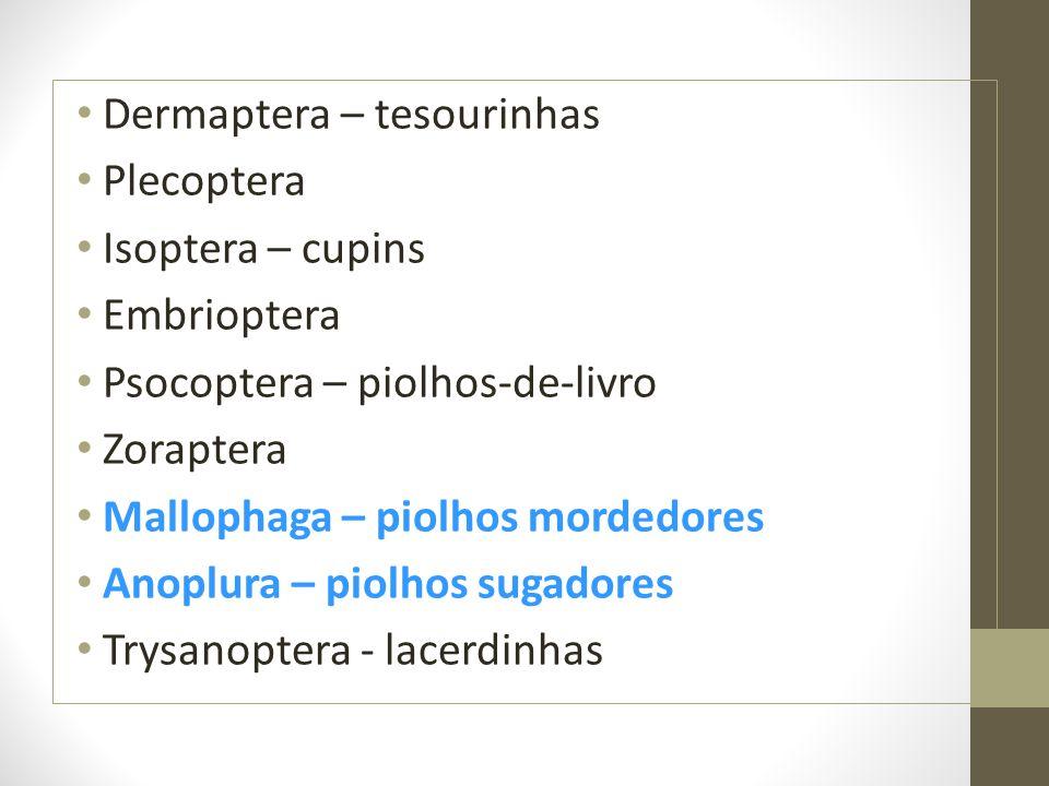 Dermaptera – tesourinhas