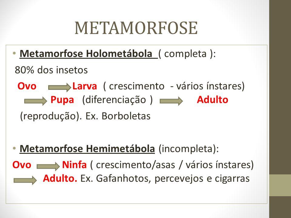 METAMORFOSE Metamorfose Holometábola ( completa ): 80% dos insetos