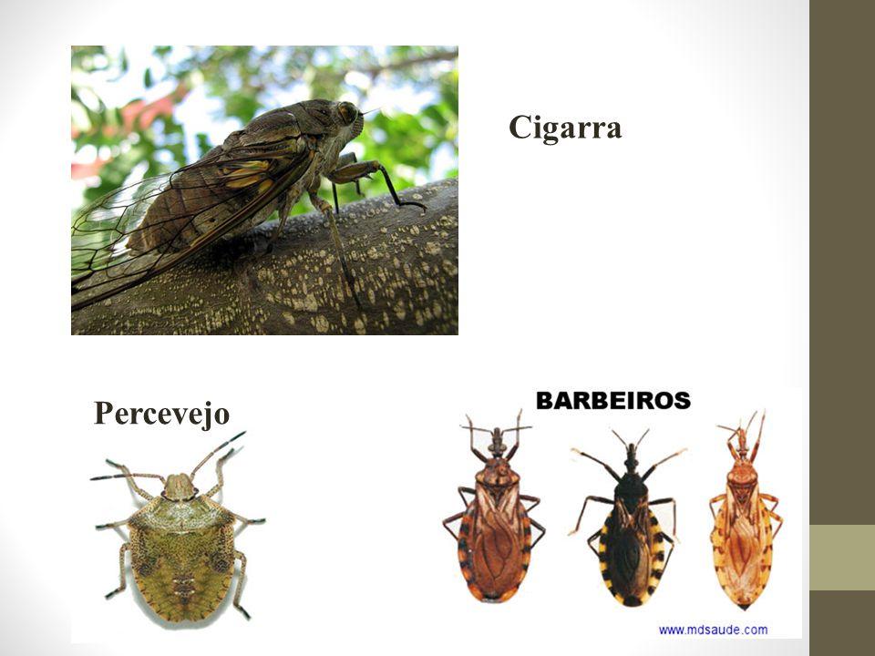 Cigarra Percevejo