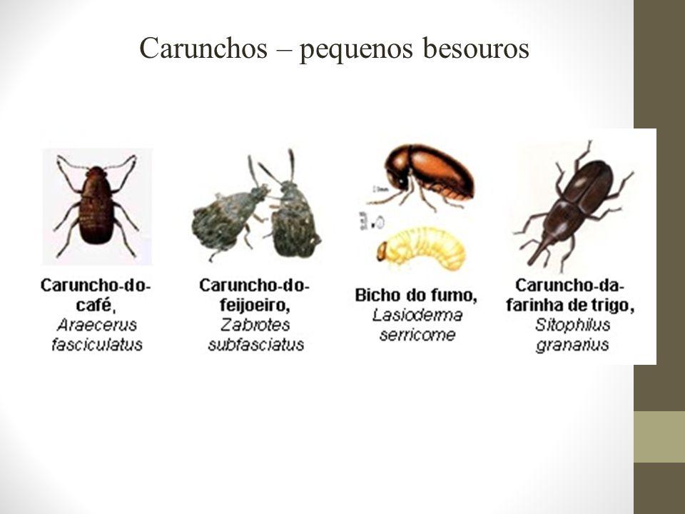 Carunchos – pequenos besouros