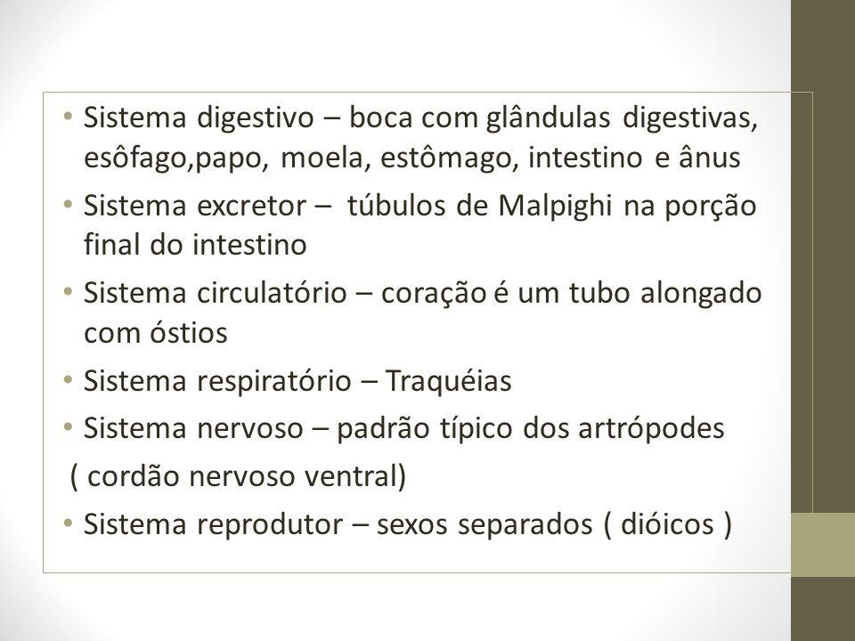 Sistema digestivo – boca com glândulas digestivas, esôfago,papo, moela, estômago, intestino e ânus