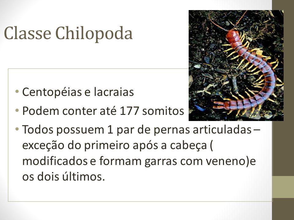 Classe Chilopoda Centopéias e lacraias Podem conter até 177 somitos