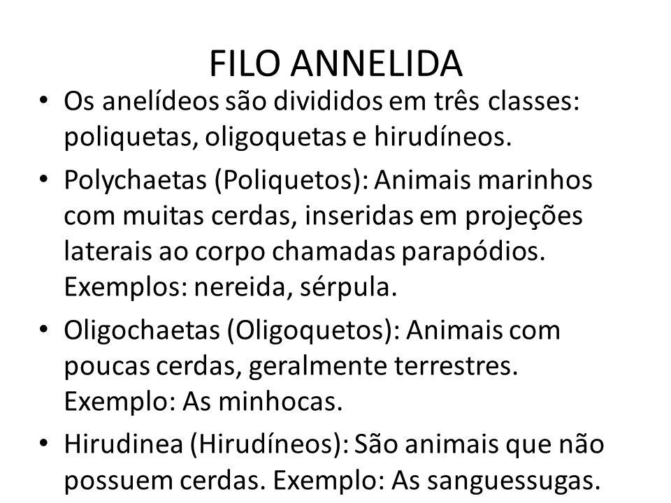 FILO ANNELIDA Os anelídeos são divididos em três classes: poliquetas, oligoquetas e hirudíneos.