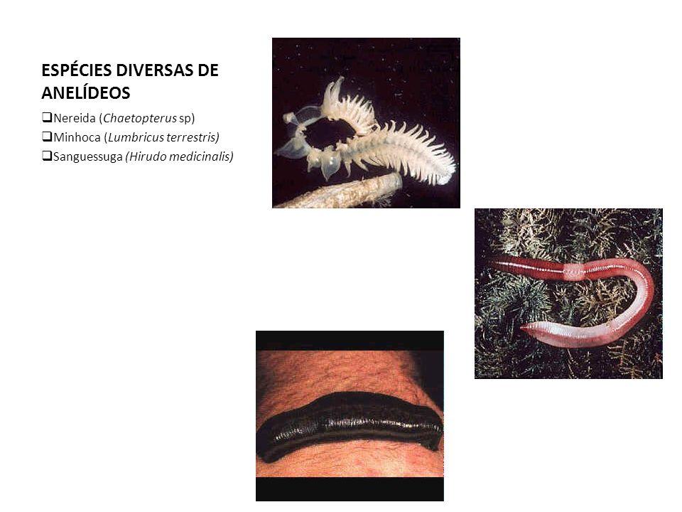 ESPÉCIES DIVERSAS DE ANELÍDEOS