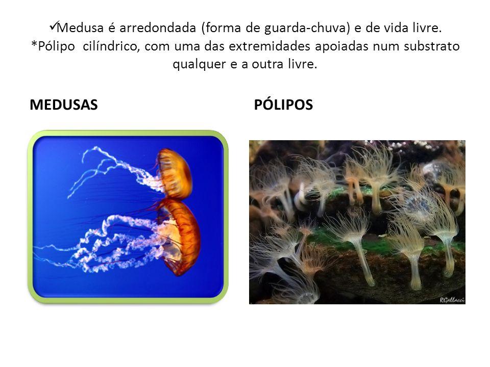 Medusa é arredondada (forma de guarda-chuva) e de vida livre
