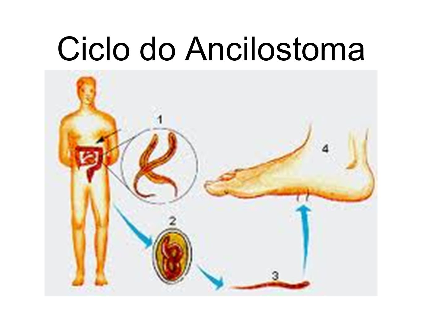 Ciclo do Ancilostoma