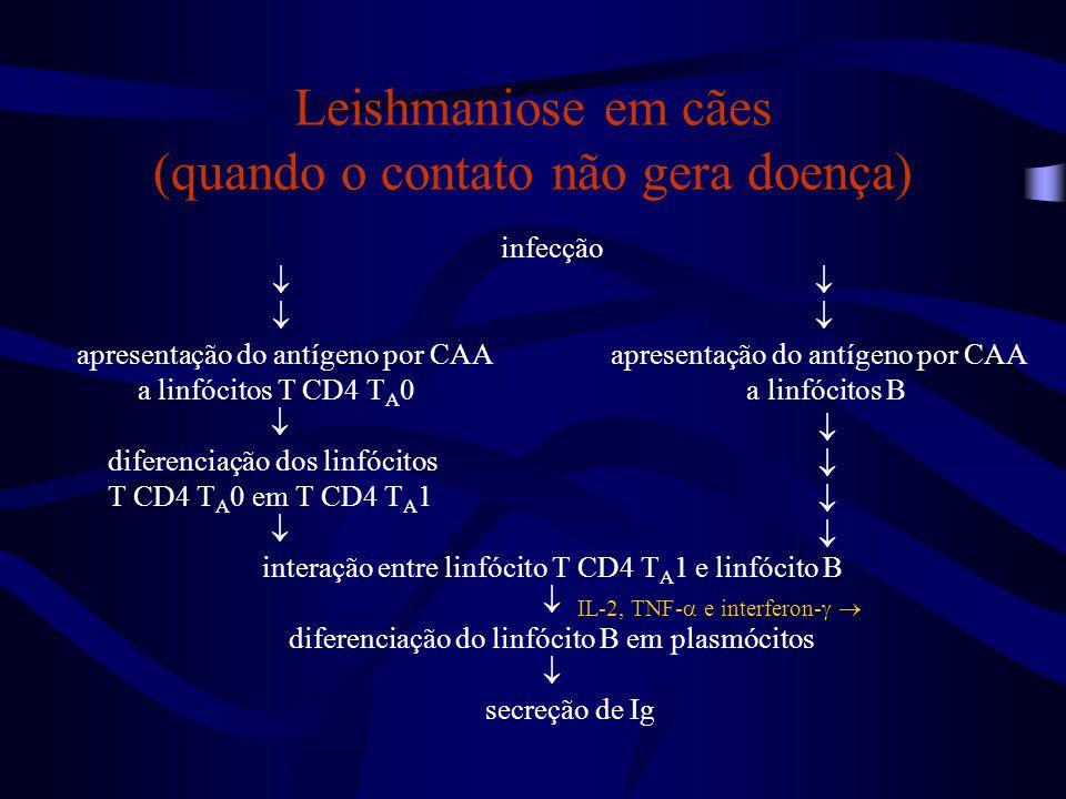 Leishmaniose em cães (quando o contato não gera doença)