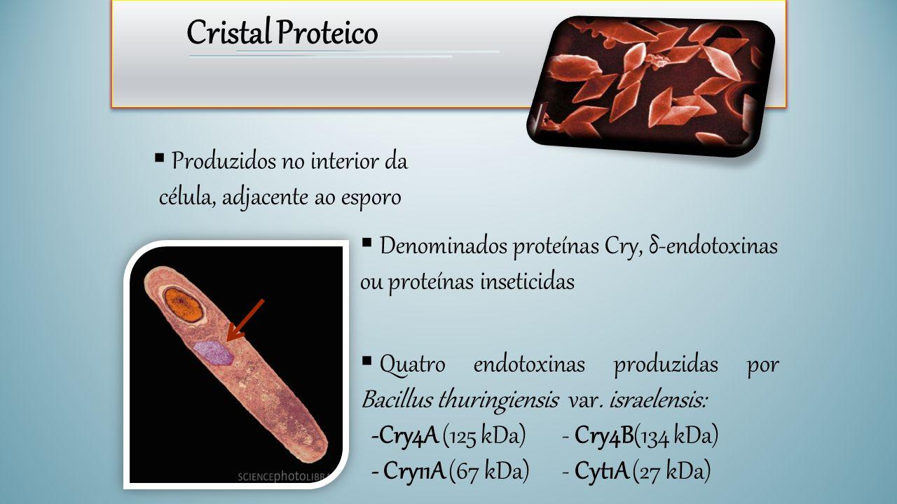 Produzidos no interior da célula, adjacente ao esporo
