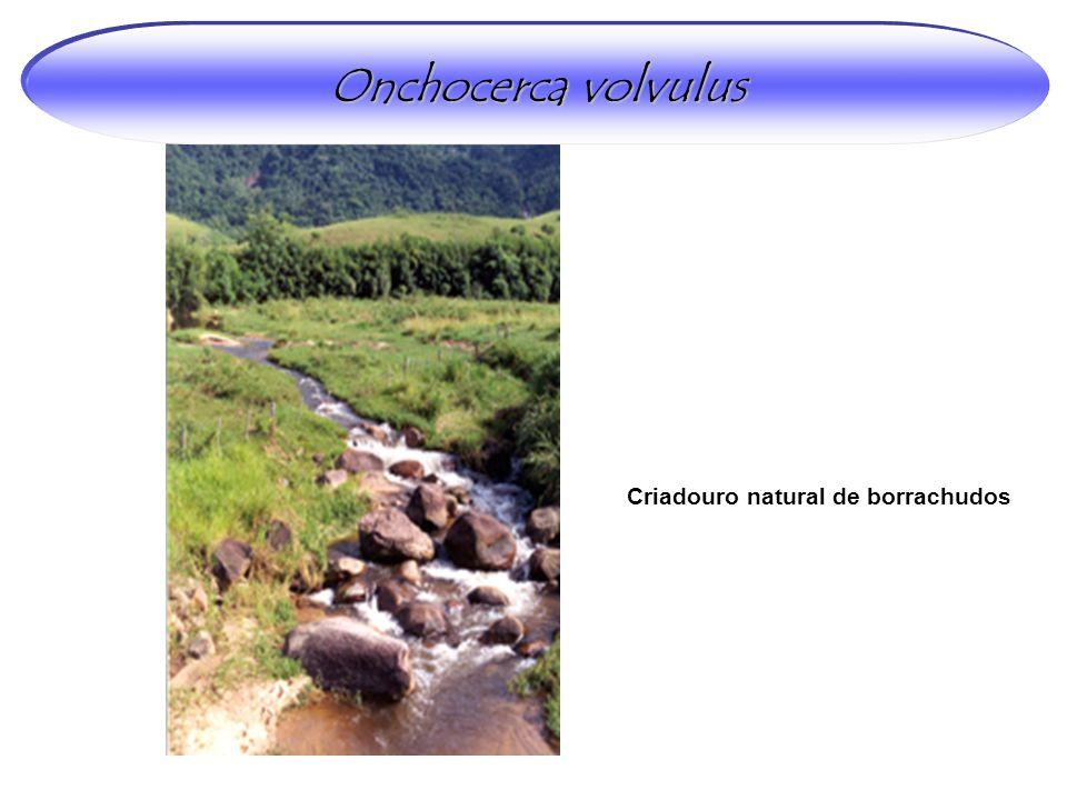 Onchocerca volvulus Criadouro natural de borrachudos