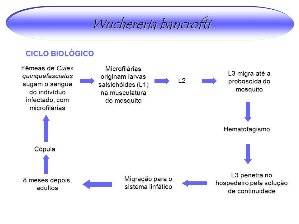 Wuchereria bancrofti CICLO BIOLÓGICO