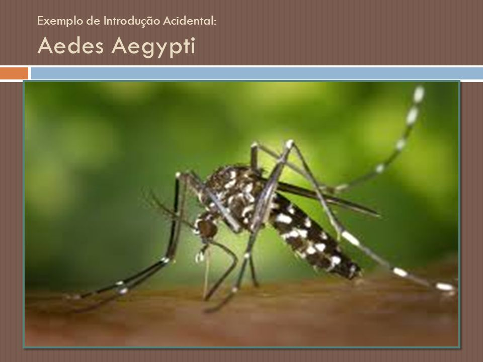 Exemplo de Introdução Acidental: Aedes Aegypti