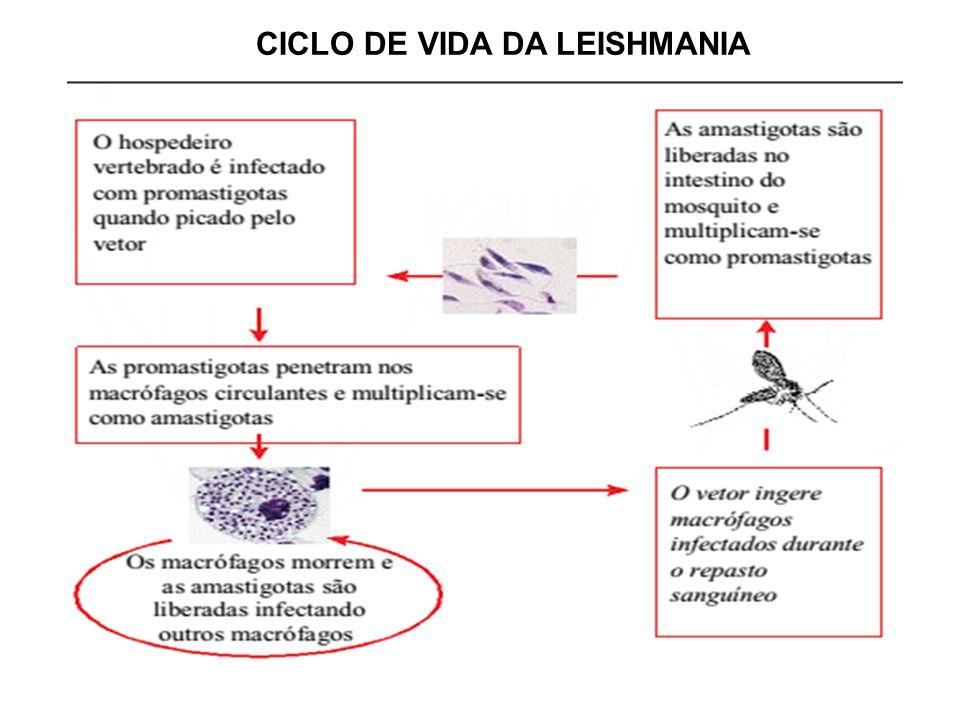 CICLO DE VIDA DA LEISHMANIA