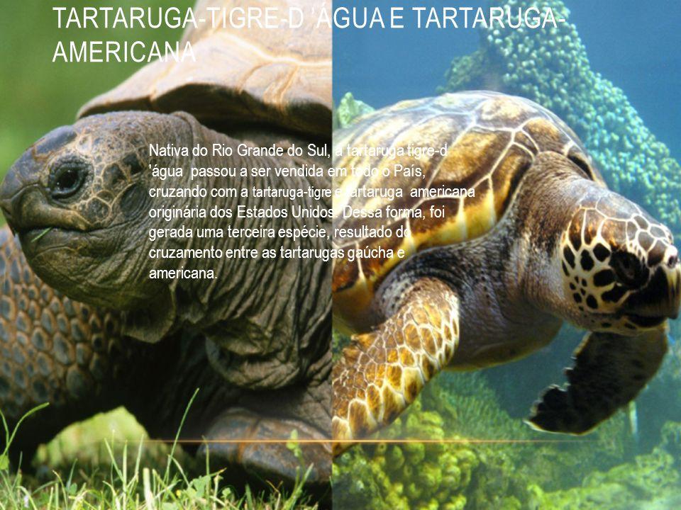 TARTARUGA-TIGRE-D 'ÁGUA E TARTARUGA-AMERICANA