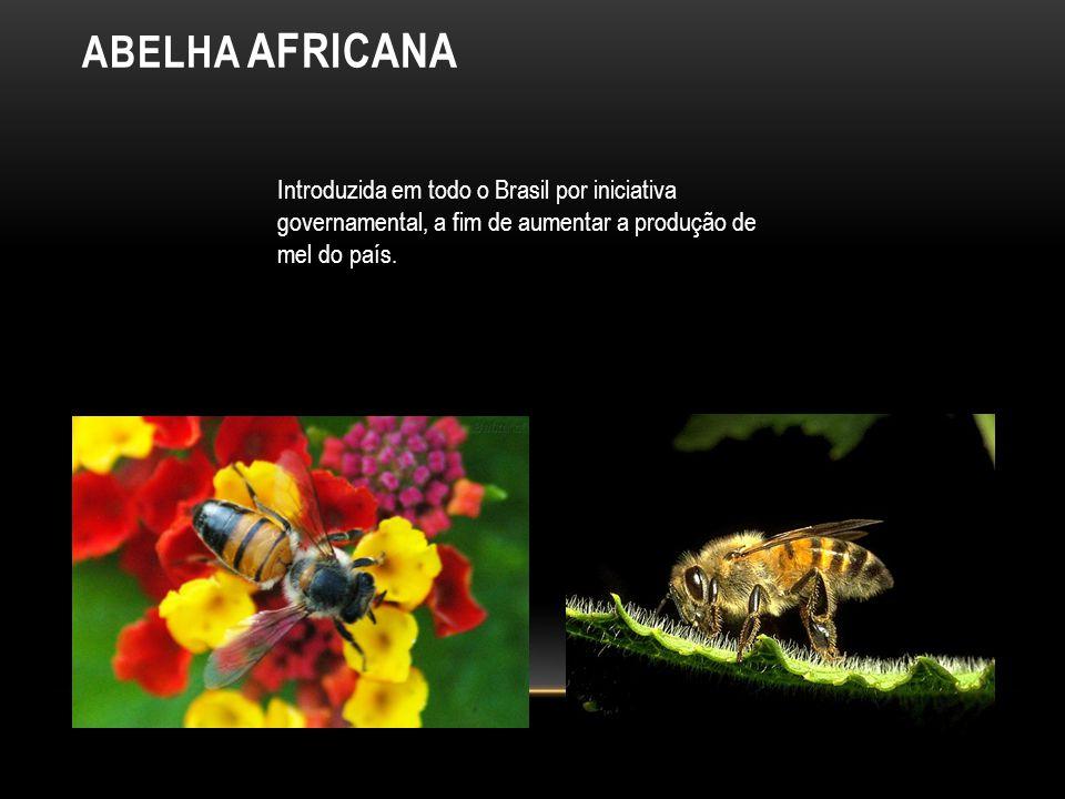 ABELHA AFRICANA Introduzida em todo o Brasil por iniciativa governamental, a fim de aumentar a produção de mel do país.