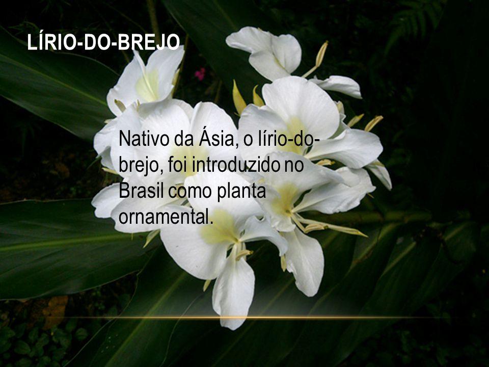 LÍRIO-DO-BREJO Nativo da Ásia, o lírio-do-brejo, foi introduzido no Brasil como planta ornamental.
